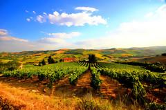 olearia-vinicola 1